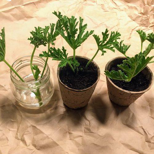 花屋で買った「ローズゼラニウム」の切り花で挿し木や水挿しは可能?
